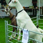 Sleight Farm Goats Letter